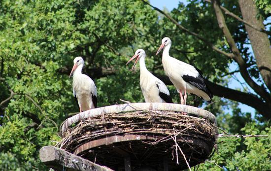 Drei Störche im Nest
