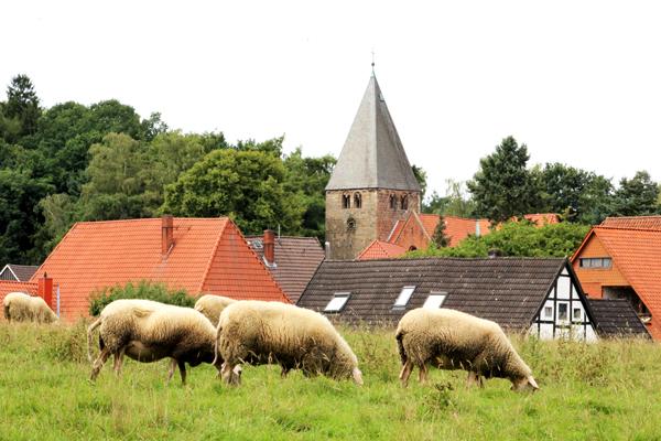 Schafsweide in Marklohe mit Kirchturm von St.-Clemens